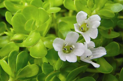 Bacopa Plant